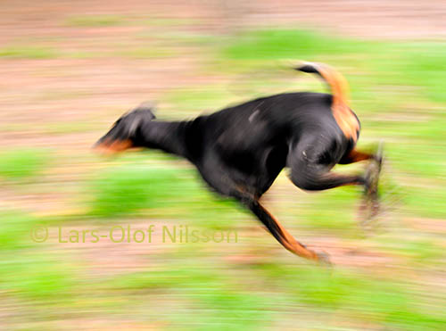 In a blurred image a dog is scampering about