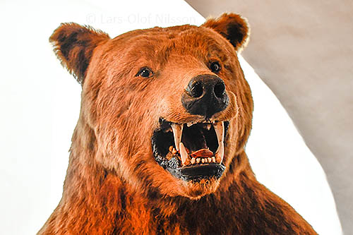 The head of a bear with its teeth showing