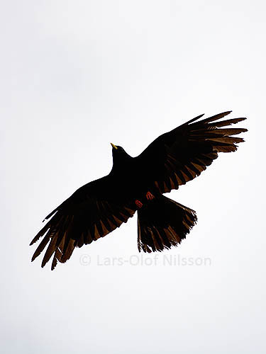 A large black bird with its wings stretched out is silhouetted against the sky
