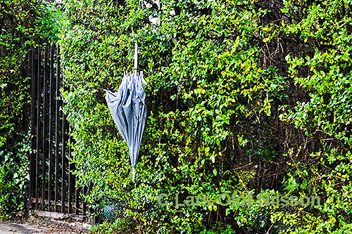 An umbrella hanging on a hedge.
